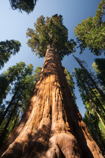 Grove「The General Sherman Tree (Sequoiadendron giganteum), the largest tree in the world in Sequoia National Park in in East Central California, Sierra Nevada, California, United States of America」:スマホ壁紙(11)