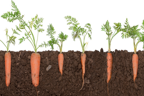 Horticulture「Carrot plant in soil」:スマホ壁紙(17)