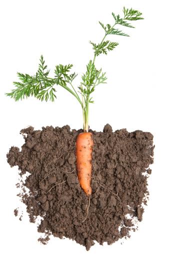 Carrot「Carrot plant in soil」:スマホ壁紙(8)