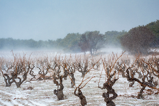 Nouvelle-Aquitaine「Vineyard covered in winter snow」:スマホ壁紙(16)