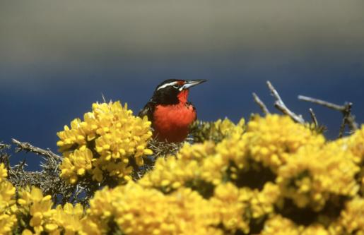 Falkland Islands「long-tailed meadow lark,sturnella loyca falklandica, male,falkland isles」:スマホ壁紙(15)