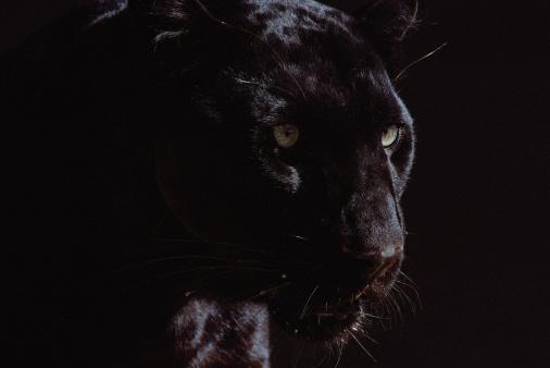 Panther「Black panther (Panthera pardus)」:スマホ壁紙(19)