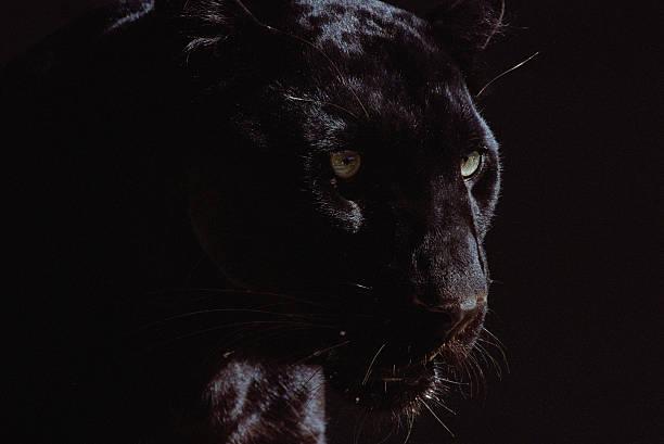 Black panther (Panthera pardus):スマホ壁紙(壁紙.com)
