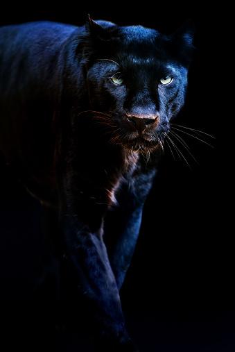 Panther「black panther」:スマホ壁紙(7)
