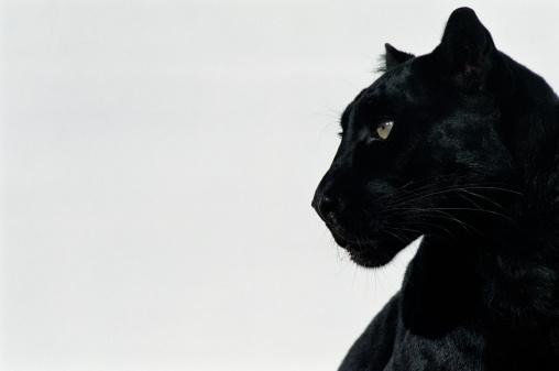 Panther「Black panther (Panthera pardus), profile」:スマホ壁紙(4)
