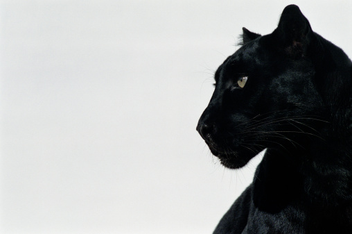 Big Cat「Black panther (Panthera pardus), profile」:スマホ壁紙(18)