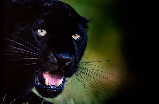 Animal Whisker「Black Panther (Jaguar)」:スマホ壁紙(3)