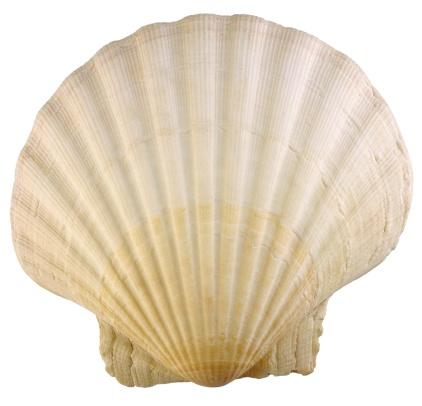 貝殻「Seashell」:スマホ壁紙(9)