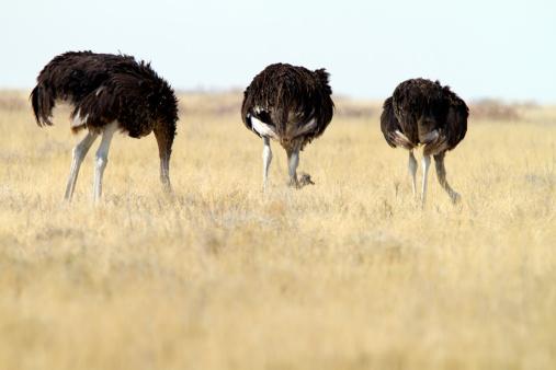Walking「Three Common Ostrichs, Etosha National Park, Namibia」:スマホ壁紙(17)
