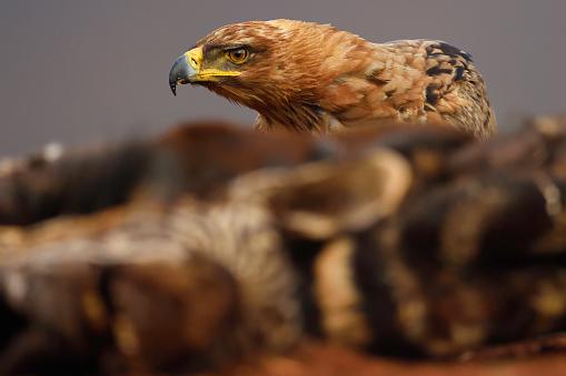 1人「Tawny Eagle feeding」:スマホ壁紙(7)