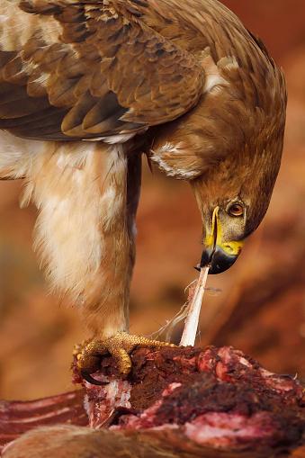 1人「Tawny Eagle feeding」:スマホ壁紙(10)