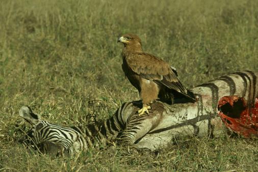 Carnivora「tawny eagle: aquila rapax  on zebra carcass  selous zimbabwe」:スマホ壁紙(7)