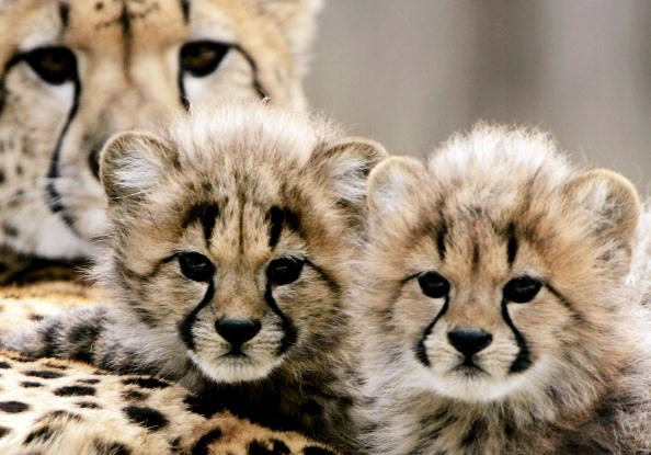 Animal Wildlife「Cheetah Cubs Make Their Debut At National Zoo」:写真・画像(14)[壁紙.com]