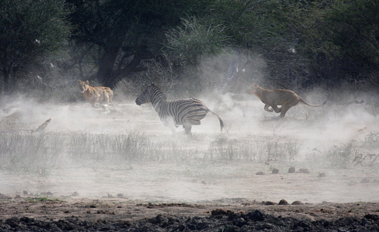 Animals Hunting「Lionesses hunt zebra in Kruger Park, South Africa」:スマホ壁紙(14)