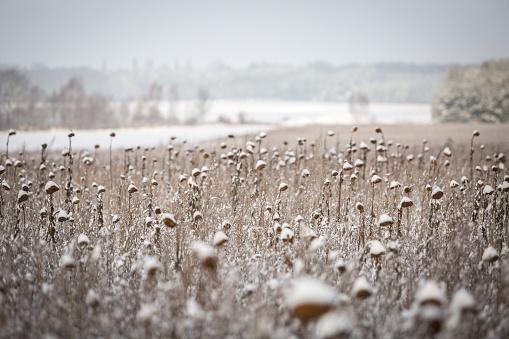 ひまわり「Germany, Brandenburg, snow-covered sunflower field」:スマホ壁紙(10)