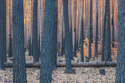 Deforestation「Germany, Brandenburg, Beelitz, Pine Forest, slash and burn」:スマホ壁紙(18)
