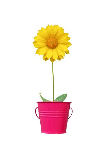 Bucket「Yellow daisy」:スマホ壁紙(4)