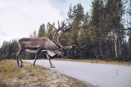 reindeer「Reindeer crossing a country road in Finland」:スマホ壁紙(14)