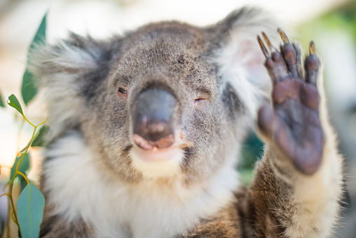 コアラ「Humorous Koala waving」:スマホ壁紙(11)