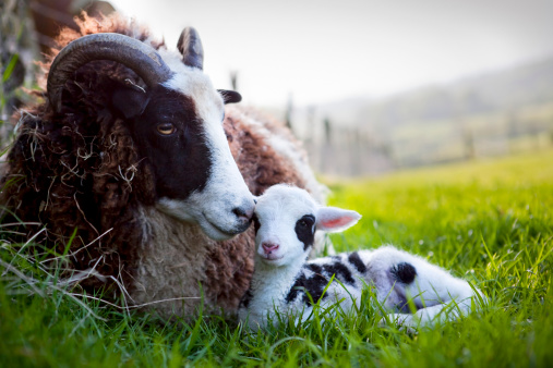 Ewe「Jacob Ewe with Newborn Lamb」:スマホ壁紙(5)