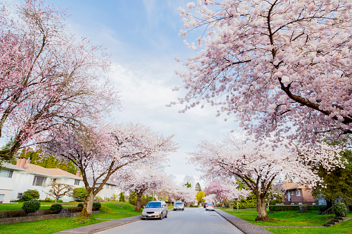 flower「Every spring the ornamental cherry trees blossom into full bloom and look very pretty lining many suburban streets of Burnaby and Vancouver」:スマホ壁紙(2)