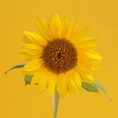 ひまわり「Yellow sunflower on square yellow background」:スマホ壁紙(2)