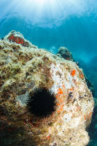 アドリア海「棘皮動物ウニ海底生活スキューバ ダイバーの視点」:スマホ壁紙(1)