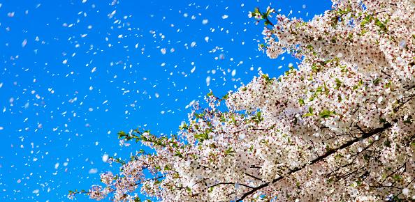 Cherry Tree「Spring wind, cherry blossoms」:スマホ壁紙(19)