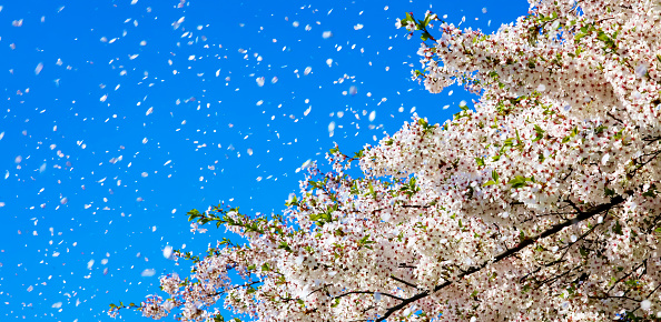 Springtime「Spring wind, cherry blossoms」:スマホ壁紙(11)
