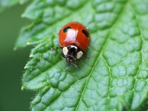 Ladybug「Two-spotted lady beetle (Adalia bipunctata)」:スマホ壁紙(14)