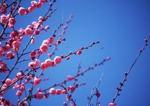 Hinamatsuri「Flower of peach」:スマホ壁紙(0)