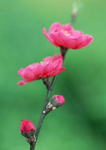 ひな祭り「Flower of peach」:スマホ壁紙(0)