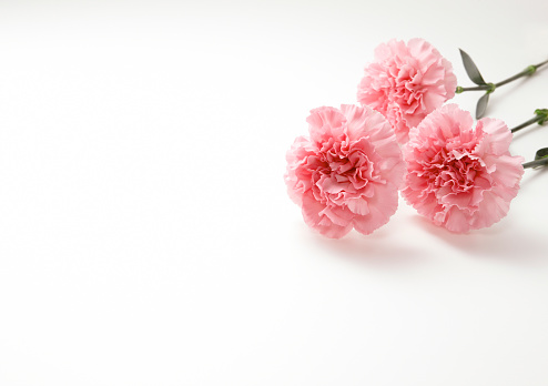カーネーション「Three Carnation Flowers」:スマホ壁紙(18)