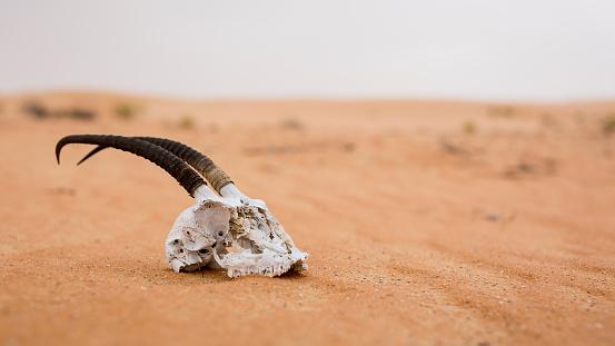 Surface Level「UAE, skull of antilope lying on the desert sand」:スマホ壁紙(11)