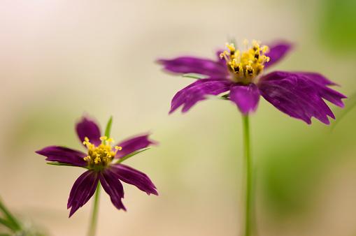 コスモス「Flower Duo of Cosmos Cosimo Dancing Dolls」:スマホ壁紙(4)