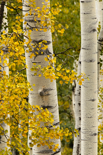 Uncompahgre National Forest「Aspen tree leaves and tree trunks」:スマホ壁紙(0)