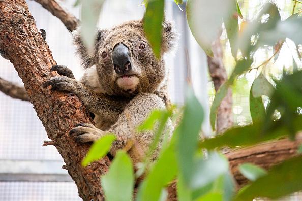 Koala「Taronga Wildlife Hospital Receives $1 Million Funding Following Bushfires」:写真・画像(12)[壁紙.com]
