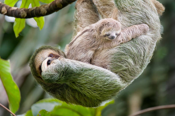 Brown-throated three-toed sloth mother and baby hanging in a treetop, Costa Rica:スマホ壁紙(壁紙.com)