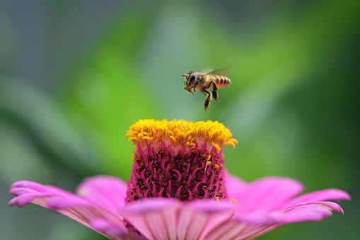 Green Background「Bee hovering over a flower, Indonesia」:スマホ壁紙(2)