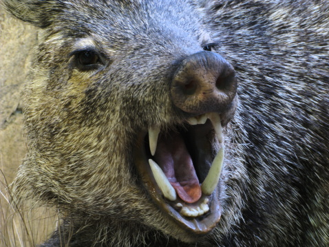 Boar「Angry Javelina イノシシ豚ペッカリー Fangs」:スマホ壁紙(11)