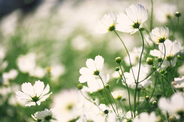 ホワイトの花のガーデン」、「cosmos 」:スマホ壁紙(壁紙.com)