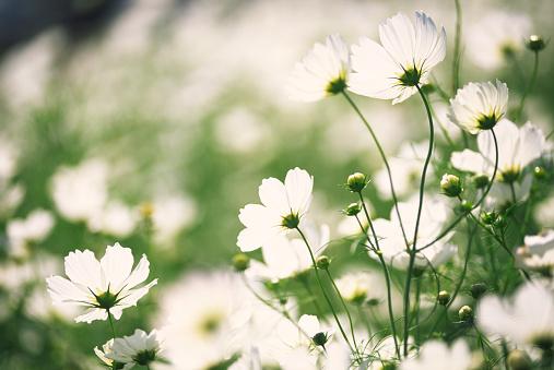 コスモス「ホワイトの花のガーデン」、「cosmos 」」:スマホ壁紙(10)