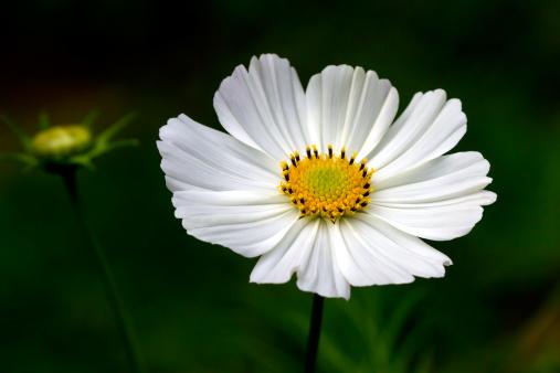 コスモス「White Cosmos flower」:スマホ壁紙(7)