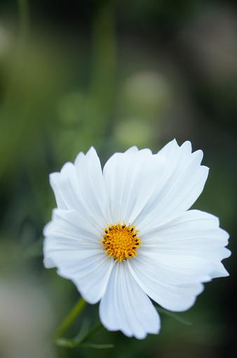 コスモス「White Cosmos Flower Close-up」:スマホ壁紙(5)