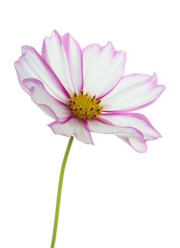 Sensory Perception「White cosmos flower with bright pink edged petals, on white.」:スマホ壁紙(10)