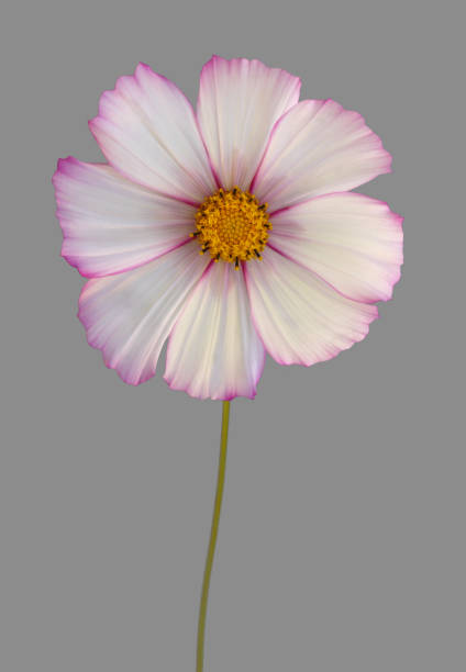 White cosmos flower with pink edged petals, on grey.:スマホ壁紙(壁紙.com)