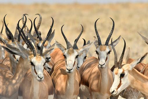 Antelope「Springbok」:スマホ壁紙(17)