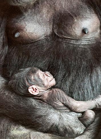 Breast「Female gorilla with baby」:スマホ壁紙(9)