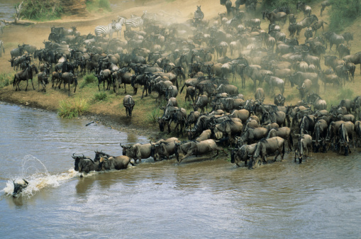Masai Mara National Reserve「Herd of migrating wildebeest (Connochaetes taurinus) crossing river」:スマホ壁紙(15)