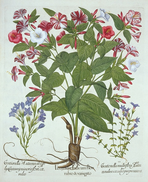 Illustration「The 'Marvel Of Peru' And Two Varieties Of Gentian」:写真・画像(16)[壁紙.com]